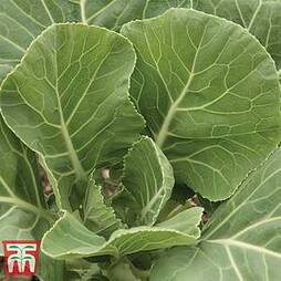Cabbage 'Champion' (Summer/ Autumn Collard)
