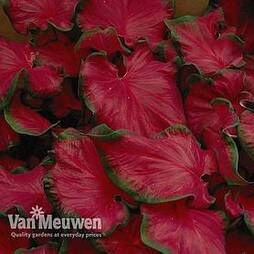 Caladium 'Cherry Tart'