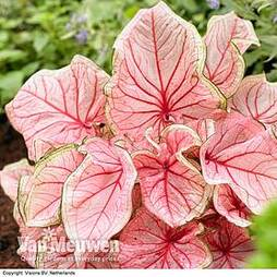 Caladium 'Sweetheart'