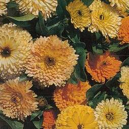 Calendula 'Art Shades' (Start-A-Garden™ Range)