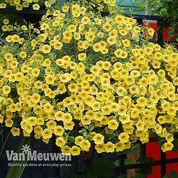 Calibrachoa 'Million Bells Yellow'