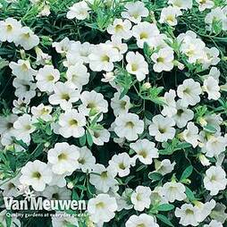 Calibrachoa 'Million Bells White'