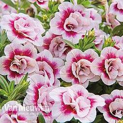 Calibrachoa Calita® 'Double Pink Bicolour'