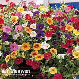 Calibrachoa 'Kabloom Mix'