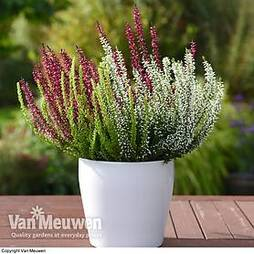 Calluna vulgaris 'Trio-Girls'
