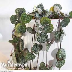 String of Hearts (House Plant)