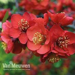 Chaenomeles x superba 'Crimson and Gold'