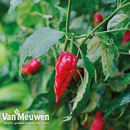 Chilli Pepper 'Naga Red' (Hot)