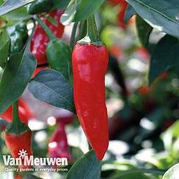 Chilli Pepper 'Lyric' F1 Hybrid