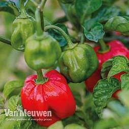 Chilli Pepper Scotch Bonnet 'Animo Red'