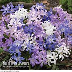 Chionodoxa Mixed