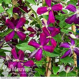 Clematis flammula 'Sweet Summer Love'