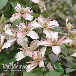Clematis montana 'Marjorie'