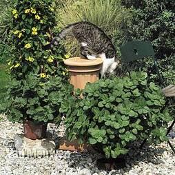 Coleus canina 'Scaredy Cat'