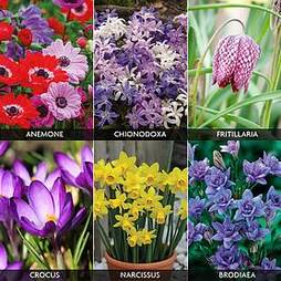 Spring Flowering Bulb Collection
