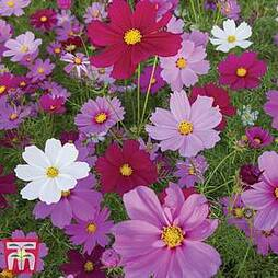 Cosmos bipinnatus 'Sensation Mixed'