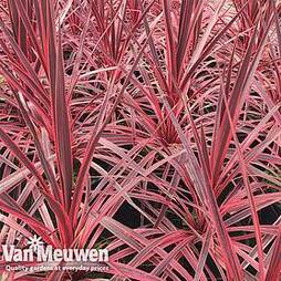 Cordyline 'Pink Star'