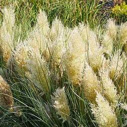 Cortaderia selloana 'Tiny Pampa'