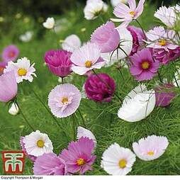 Cosmos bipinnatus 'Cupcakes and Saucers'