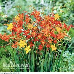 Crocosmia Mixed