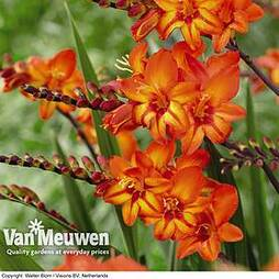 Crocosmia 'Scorchio' (Firestars Series)