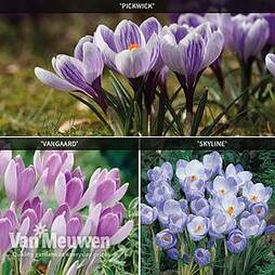 Crocus 'Bicolour Collection'