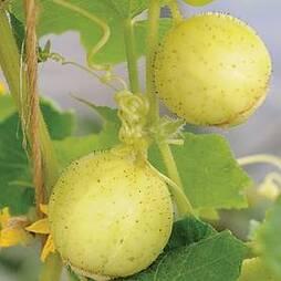 Cucumber 'Crystal Apple'