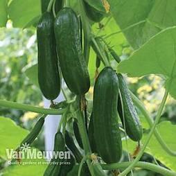 Cucumber 'Nimrod'