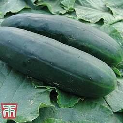 Cucumber 'Obelix' F1 Hybrid