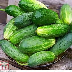 Cucumber 'Goblin' F1 Hybrid
