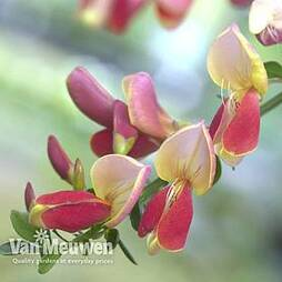 Cytisus 'Zeelandia'