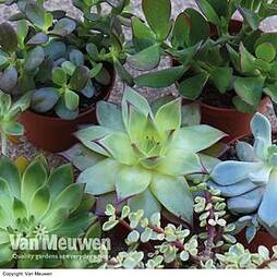 Succulents Crassula Mixed