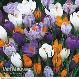 Crocus 'Dutch Large Flowering' (Spring Flowering)