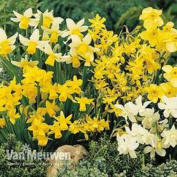 Daffodil 'Miniature Mixed'
