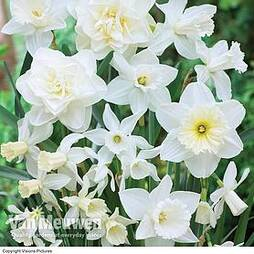 Daffodil 'White Diamonds' Mixture