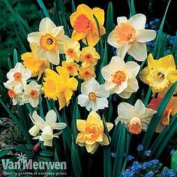 Daffodil 'Sunshine Mix'