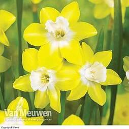 Daffodil jonquilla 'Pipit'