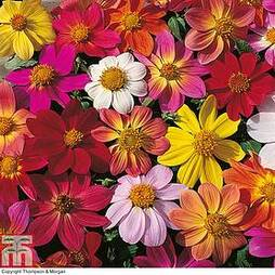 Dahlia coccinea 'Species Mixed'