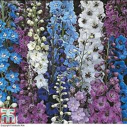 Delphinium hybridum 'Pacific Giants Mixed'