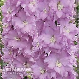 Delphinium 'Pink Blushes'