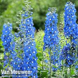 Delphinium 'Summer Skies' (Pacific Hybrid)