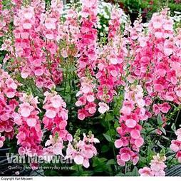 Diascia 'Pink Bicolour'