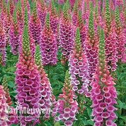 Foxglove 'Candy Mountain'