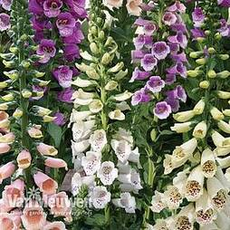 Foxglove 'Dalmation Mixed'