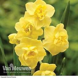 Daffodil 'Cheerfulness Yellow'