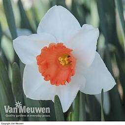 Daffodil 'Decoy Red'