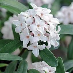 Daphne 'Eternal Fragrance'
