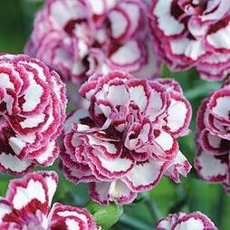 Pinks 'Gran's Favourite' (Clove Scented)