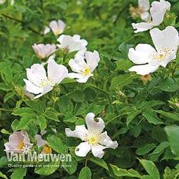 Dog Rose Hedging