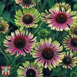 Echinacea 'Green Twister' Seeds
